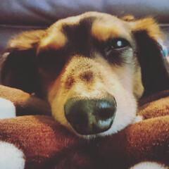 犬と暮らす/愛犬/ミニチュアダックス/LIMIAペット同好会/ペット仲間募集/わんこ同好会/... ふにゃふにゃぁ〜な我が家のワンコです。可…
