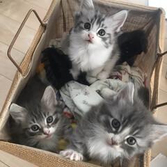 ペット/猫/うちの子ベストショット 先月生まれた子猫達♡ ノルウェージャンフ…(1枚目)