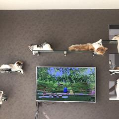 LIMIAペット同好会/にゃんこ同好会 猫まみれ😂  ガラス製のキャットウォーク…