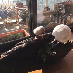 日向ぼっこ/文鳥/DIY あたし、お手製の流木ライトで日向ぼっこ(…(2枚目)