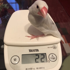 体重/文鳥 体重測定⑅◡̈*  (1枚目)