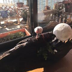 日向ぼっこ/文鳥/DIY あたし、お手製の流木ライトで日向ぼっこ(…(1枚目)