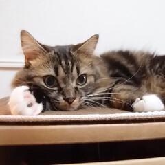 猫がいる暮らし/猫との生活/マンチカン/短足/長毛猫/愛猫/... ⒺⒶⓇⓁⒼⓇⒺⓎ チャームポイントは真っ…
