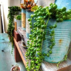 グリーンネックス/多肉植物/ガーデン/ジャンク/アンティーク/シャビーシック/... グリーンネックレスがカッコイイ感じになっ…