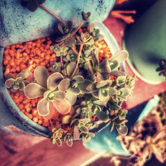 ガーデン/ジャンク/多肉植物/梅雨/雑貨/DIY/... 若い子持ち蓮華がとてもかわいいです、元気…