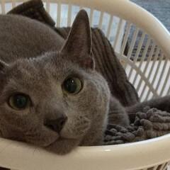 猫/ロシアンブルー/ねこ レオ(ФωФ)君、8/14で4歳になりま…