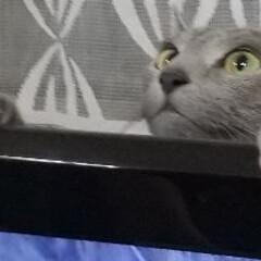 ロシアンブルー/猫 TVを挟んで、旦那さんとレオ(ФωФ)君…
