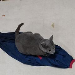 ねこ/ロシアンブルー/猫/エコバッグ エコバッグのシュパットを置いておいたら、…