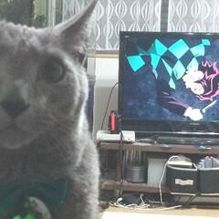 ロシアンブルー/猫/鬼滅の刃 鬼滅の刃をひたすら見ている、息子(小5)…