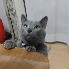 ロシアンブルー/猫 晩御飯の魚につられて、 頑張ってるレオ(…