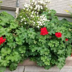 花壇/花 小さい花壇だけど、花が咲き始めました。