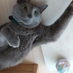 ねこ/猫/ロシアンブルー 洗濯機横の隙間に入って、ボールで遊んでま…