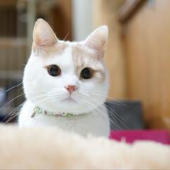 猫好き/寝たふりしとこ😁/マンチカン足長/夏/LIMIAペット同好会/フォロー大歓迎/... 👀✨ テレパシーで起こされる😅
