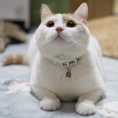 猫好き/マンチカン足長/夏/フォロー大歓迎/はじめてフォト投稿/猫/... まんまる…なちゅだにょ😽🐾 よろしくだに…