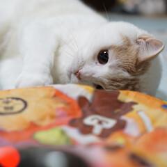 猫好き/マンチカン足長/夏/大好きな遊び😽🐾/猫のおもちゃ/キャッチミーイフユーキャン/... なちゅ…夢中😽🐾🐾