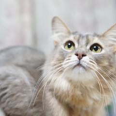 無言フォロー大歓迎/猫好き/碧/ソマリ/猫/にゃんこ同好会/... 我が家の長にゃん😺🐾 碧(あお)です よ…