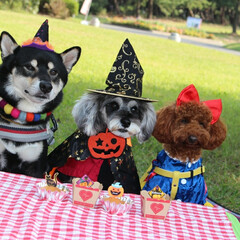 ピクニック/トイプードル部/トイプードル/ハロウィン2019/おでかけ お友達とハロウィンピクニック🎃 柴犬ちゃ…