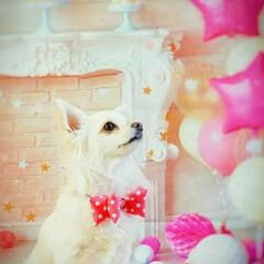 ピンク/chihuahua/チワワ/おめかし/蝶ネクタイ/COCO/... この日は  娘の結婚式だったので  co…