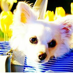 お出かけバッグ/愛犬/ロングコートチワワ/チワワ/湘南/江ノ島/... 江ノ島に  ウィンターチューリップを見に…