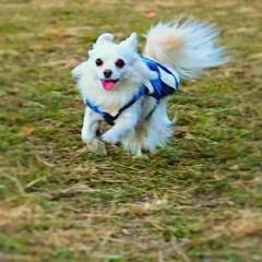 うちの子ベストショット/癒し/ジャンプ/run/愛犬/COCO/...  run & run  今日もたくさん走…