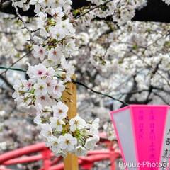 春の一枚/風景/ミラーレス一眼/フォロー大歓迎/桜フォト 昨日、目黒川の桜を見に行きました。  咲…