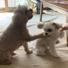 キャバプー/ミックス犬/キャバマル/マルキャバ/多頭飼い/パピー犬/... おやつです!お手! エルさん、そこじゃな…(1枚目)