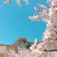 デート/紅ほっぺ/おにぎり/野田琺瑯/いちご/ピクニック/... 今年のお花見弁当🌸 桜の沢山ある芝生の公…(4枚目)