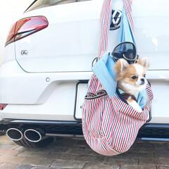 チワワ/ちわわ/愛犬/犬/dog/doggy/... くぅちゃんとお出かけ