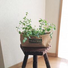ブログ書いてます/ペパーミント/イタリアンパセリ/鉢カバー/プランター/プランターカバー/... セリアのベジタブルストッカー。野菜袋です…