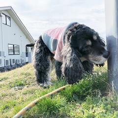 インギー/イングリッシュコッカースパニエル/愛犬/犬バカ/いぬバカ部/LIMIAペット同好会/... 朝のお散歩は夕方たまに来るこの近所の動物…