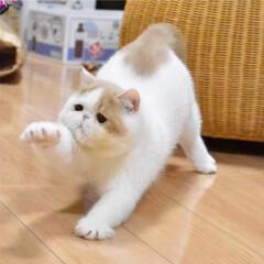 猫/タレ目/ねこ/エキゾチック/エキゾ/エキゾチックショートヘア/... のびのび~!!!