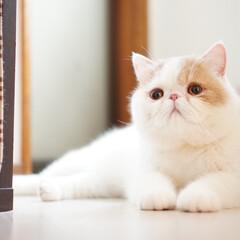 猫/エキゾ/エキゾチックショートヘア/鼻ぺちゃ/ブサカワ/exoticshorthair/... おともにゃちのお家でくつろいでるにゃぽ♡