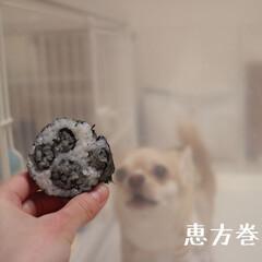 犬のいる暮らし/スムースチワワ/LIMIAペット/うちの子/デコ巻きずし/肉球巻き/... 節分  肉球恵方巻き🎵❤ 凄い食べっぷり…