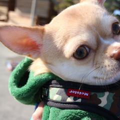 スムースチワワ/犬のいる暮らし/お散歩/お出かけ/愛犬/ちわわ/... お散歩🐾トコトコ楽しいね🎵