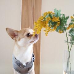 花/ミモザ/癒やし/かわいい/男の子/ペット/... ミモザ〜💛 春の訪れ🎵うれしいなぁ😚
