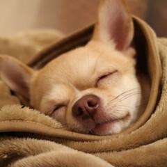 チワワ大好き/ちわわ/犬/いぬ/愛犬/大好き/... 春は眠くなるね〜😴💕 .