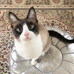 LIMIAペット同好会/フォロー大歓迎/はじめてフォト投稿/ペット/ペット仲間募集/猫/... お気に入りのプフの上で ご機嫌ぽこにゃん…