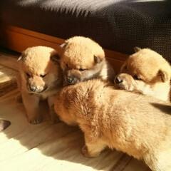 「友達が、柴犬さんと暮らすらしく、ブリーダ…」(2枚目)