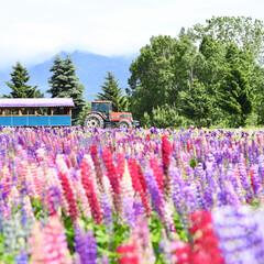 花畑/フラワーランドかみふらの/おでかけワンショット 初夏にずーっと憧れていた北海道に行きまし…