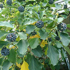 紅葉/街路樹/散歩/暮らし 散歩道で見つけた木の実です。 名前はわか…