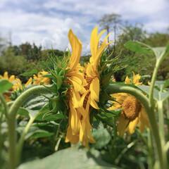 夏の花/ヒマワリ/花/夏に咲く花/向日葵 お互いが太陽のような存在。 という事でし…