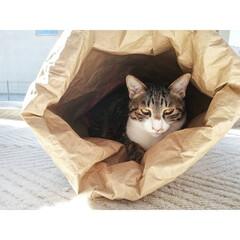 元保護猫/キジ白/キジトラ/ねこ/春のフォト投稿キャンペーン/ありがとう平成/...   マッシュin米袋