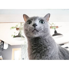 猫のいる暮らし/ロシアンブルー/にゃんこ/LIMIAペット同好会/フォロー大歓迎/ペット/... ティナです✨✨10歳の女の子です💕  よ…