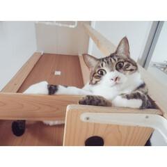 保護猫出身/にゃんこ同好会/猫/ねこ/キャットウォーク/キャットタワー/...  まったり金曜日😽😽  私は先週から股関…