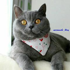 猫好きさんと繋がりたい/ブリティッシュショートヘア/フォロー大歓迎/ペット/ペット仲間募集/猫/... 窓際で日向ぼっこ中☀ バンダナ付けてちょ…