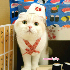 鮨屋/猫服/コスプレ/猫好きさんと繋がりたい/スコティッシュフォールド/LIMIAペット同好会/... お寿司屋さんに変身🍣  まび大将の仕事中…