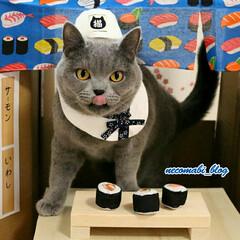 ブリティッシュショートヘア/猫好きさんと繋がりたい/コスプレ/寿司屋/LIMIAペット同好会/フォロー大歓迎/... へい❣らっしゃい😸  オイラの握った寿司…