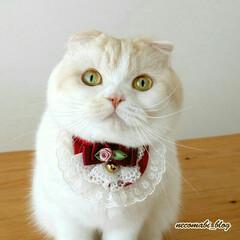 猫好きさんと繋がりたい/スコティッシュフォールド/LIMIAペット同好会/フォロー大歓迎/ペット/ペット仲間募集/... 暖かくなってきましたね🌸 オシャレして何…