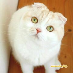 猫好きさんと繋がりたい/スコティッシュフォールド/LIMIAペット同好会/フォロー大歓迎/ペット/ペット仲間募集/... 見上げてごらん❣ 小首をかしげて、かわい…