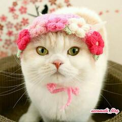 猫好きさんと繋がりたい/スコティッシュフォールド/LIMIAペット同好会/フォロー大歓迎/ペット/ペット仲間募集/... 春の妖精現る🌸✨